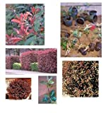 10 Red Tip Photinia Shrubs 4 to 8in., Fast Growing Hedge & Screen, Small & Nice