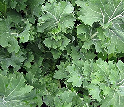 Siberian Kale- Organic Heirloom Variety- 500+ 2016 Seeds by Ohio Heirloom Seeds