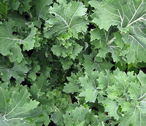 Siberian Kale- Organic Heirloom Variety- 500+ 2019 Seeds by Ohio Heirloom ()