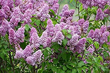 Amazon laminated poster flowers syringa purple flowers bush laminated poster flowers syringa purple flowers bush lilac poster print 24 x 36 mightylinksfo