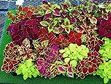 buy Seeds Rare Coleus Flowers Perennial Handing Garden Organic Beautiful Ukraine now, new 2020-2019 bestseller, review and Photo, best price $6.99