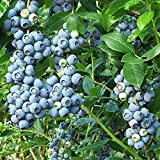 Elliot Blueberry Bush - Edible Fruit - Hardy Perennial