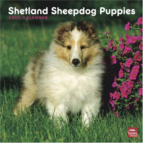 Shetland Sheepdogs Puppies 2010 Square Wall (Sheepdog Calendar 2010)