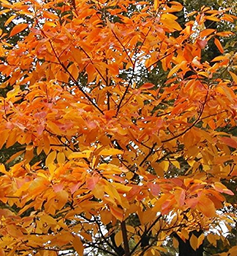 1 Sassafras bare root trees 4 foot tall branched with 1 t...