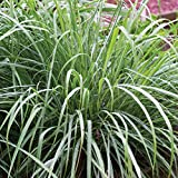 Burpee 51830A 51830A Lemongrass Seeds, Green