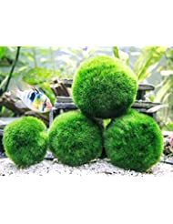 6 Marimo Moss Ball Variety Pack - 4 Different Sizes of Premiu...