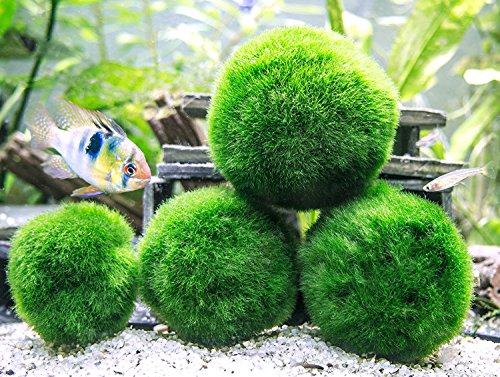 61kEG4vRS4L - 6 Marimo Moss Ball Variety Pack - 4 Different Sizes of Premium Quality Marimo from Giant 2.5 Inch to Small 1 Inch - World's Easiest Live Aquarium Plant - Sustainably Harvested and All-Natural
