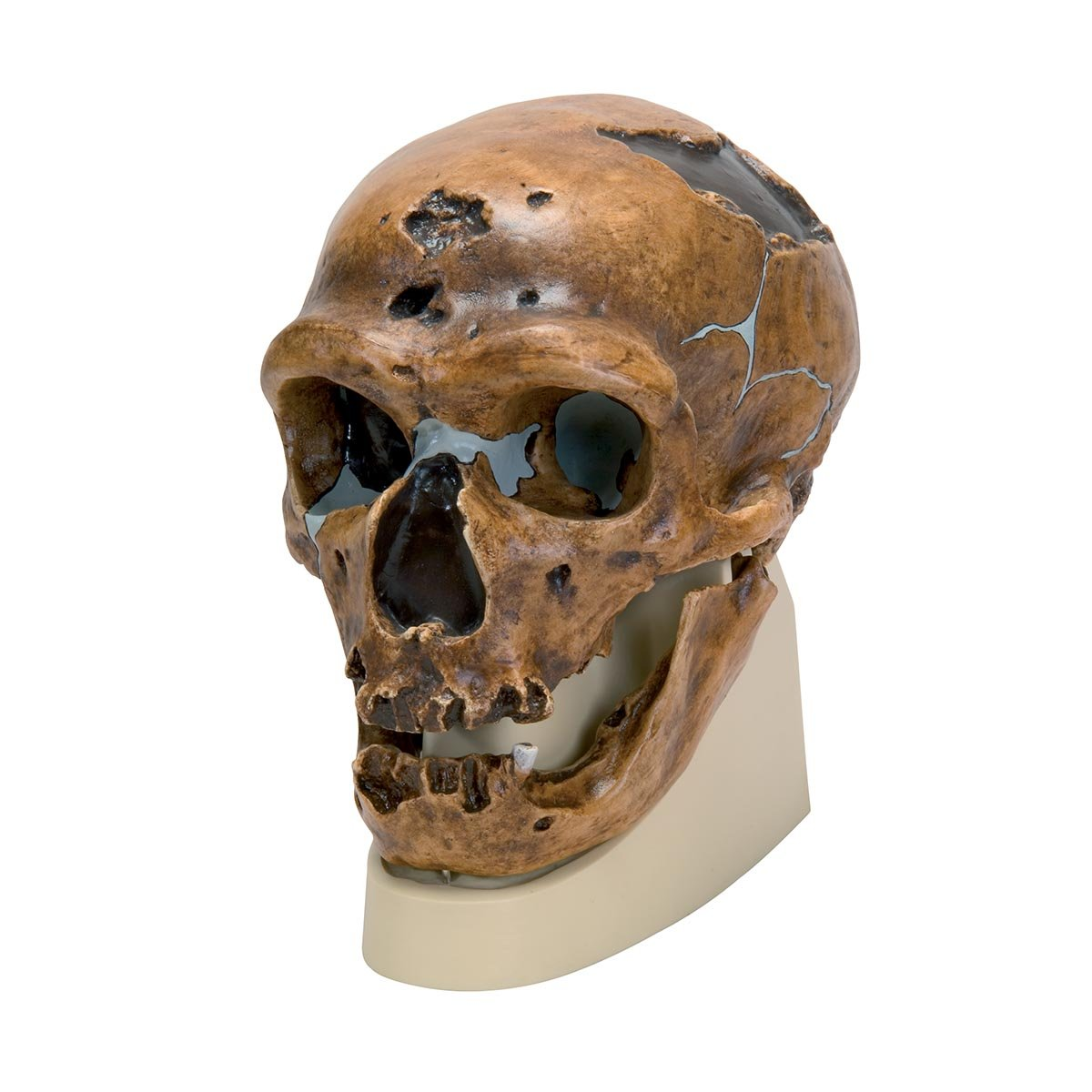 3B Scientific VP751/1 Ré plica del Crá neo del Homo Neanderthalensis, La Chapelle-Aux-Saints 1 3B Scientific GmbH 1001294 3B  VP751/1