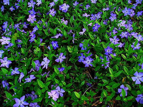 - Vinca Minor Evergreen Ground Cover Plants (1 order contains 50 bare root plants)