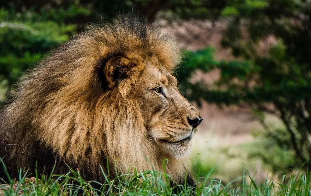 Amazon.com: KaoHun Lion Side View Head Mane - Animal Picture Art ...