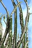 5 Seeds Madagascar Ocotillo, Alluaudia procera African Didierea Succulent Seed