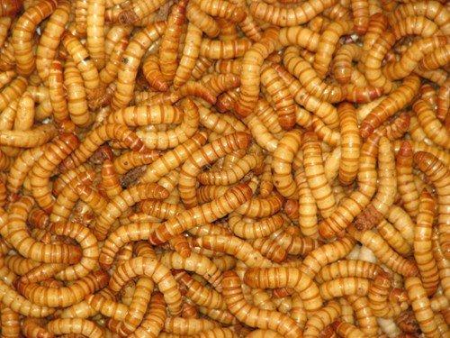 Mealworm Tub - 7