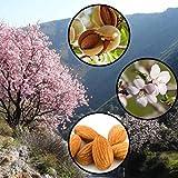 Sweet Almond Tree Prunus Dulcis 5 Seeds