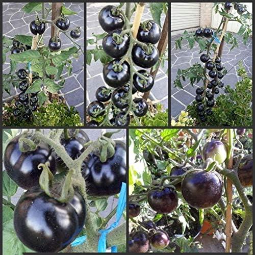 Schwarze Tomatensamen zum Pflanzen von Gemüsesamen Obstsamen Gartengemüse zum Pflanzen Balkon/Patio 200 Stk/Pack