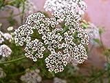 Caraway (Carum Carvi) Herbal Plant Heirlomm, 500 Seeds