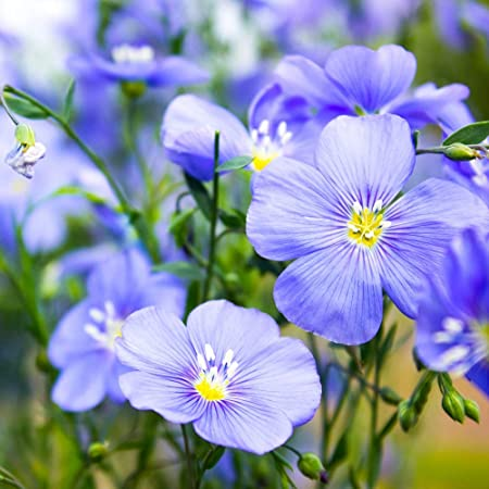 Amazon Com Outsidepride Blue Flax Linum Perenne Flower Seed 1 4 Lb Flowering Plants Garden Outdoor
