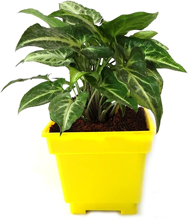 Rolling Nature Syngonium Green in Yellow Square Pot Ornamental & Shade Trees at amazon