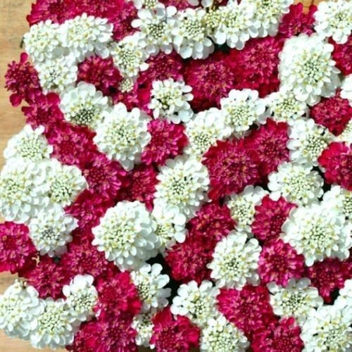 50+ IBERIS CANDYTUFT RED AND WHITE FLOWER SEEDS MIX / DEER RESISTANT ()