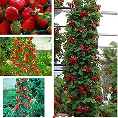 Red 100pcs Strawberry Climbing Strawberry Fruit Plant Seeds Home Garden New : Garden & Outdoor