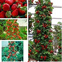 Auntwhale 100 semillas de fresas trepadoras
