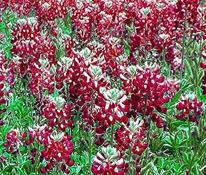 Las semillas orgánicas: Castaños capo rojo Lupi texensis ...