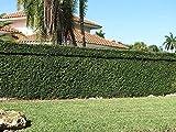 Creeping Fig Plant Ficus Pumila Climbing Vine Qty