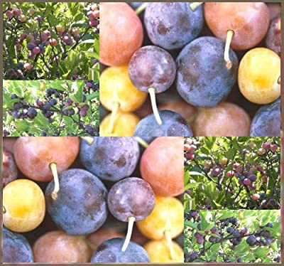 4 Packs x 5 Beach Plum Shrub - Prunus maritima - Tree Seed Seeds - DELICIOUS BITE SIZE FRUITS - Zone 3 - 7 Cold Hardy - By MySeeds.Co