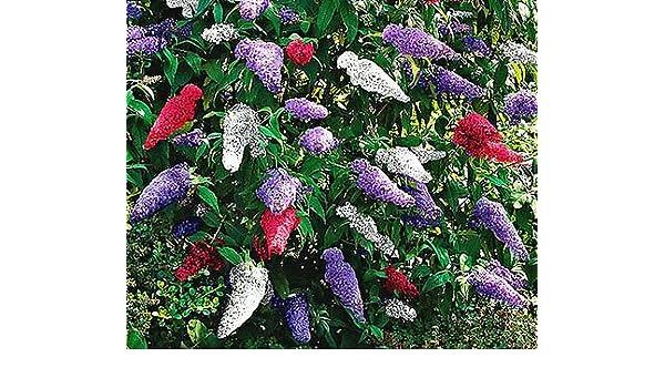 200 Bulk Seeds BUTTERFLY BUSH VIOLET Buddleia Davidii