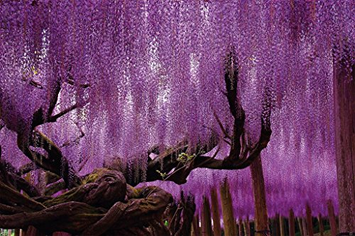 Great Art Wall Decoration Wisteria Photo Wallpaper - Floral Mural Purple Flowers Poster Nature Decor Art (55 Inch x 39.4 Inch)