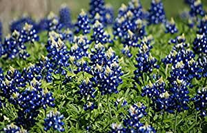 Texas Bluebonnet Seeds, Heirloom Wildflower Seeds, Non-GMO, Blue Flowers, 75ct