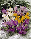 Bloomsz Snow Crocus Mix 30 Bulbs 30 Pack