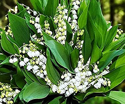 10 Very Large, Fresh, Plump Lily of the Valley Bare Root Plants. Plant Now for Bloom Next May.