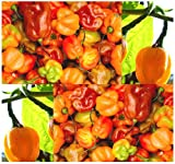 25 HABANERO SCOTCH BONNET HABENERO HOT Pepper seeds RARE citrus-like Great Salsa