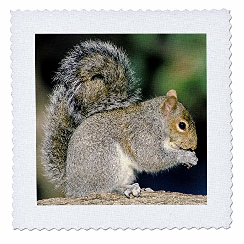 3dRose qs_83606_1 Gray Squirrel NA02 AJE0299 Adam Jones Quilt Square, 10 by 10-Inch