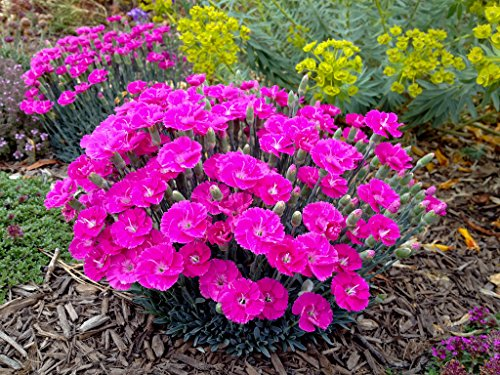 Star Dianthus (1 Starter Plant of Dianthus Shooting Star)