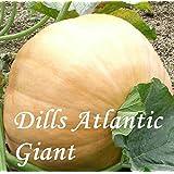 Dills Atlantic Giant - 20 Samen - Kürbissamen vom Weltrekordler !!