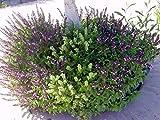 Alyf Market Cinnamon Basil (Ocimum Basilicum Cinnamon) Beautiful and Aromatic with its red stem, Bright Green Leaves and Purple Flowers (1 oz Pack)
