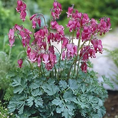 Dicentra Formosa Seeds BACCHANALFern Leaf Cranberry Bleeding Heart20 Seeds