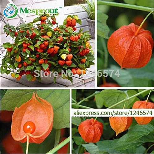 Chinese Lantern Plants - Hot Selling! Ornamental fruit seeds Physalis, chinese lantern plant, sweet mother seeds, 200PCS, Fruit Home Garden seeds of hope