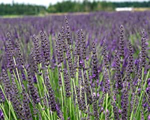 """Findlavender - Lavender GROSSO (Dark Purple Flowers) - 4"""" Size Pot - Zones 4 - 11 - Bee Friendly - Attract Butterfly - Evergreen Plant - 4 Live Plants"""