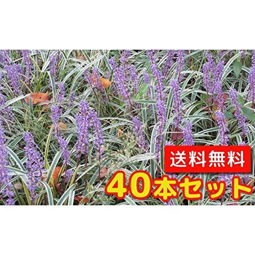 【ノーブランド品】フイリヤブラン/10.5cmポット【40本セット】 B00W4VXR30