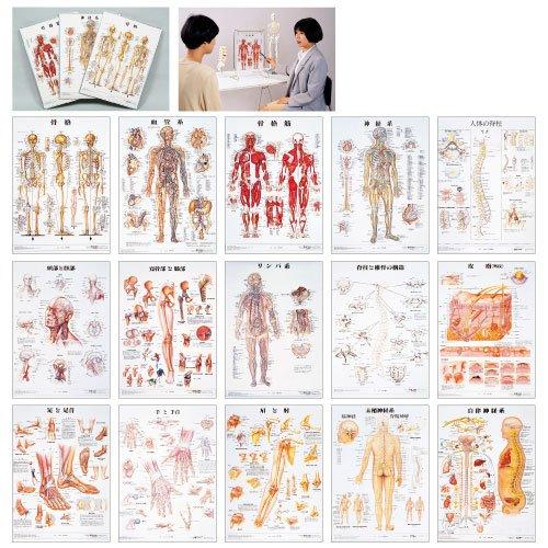 【2019春夏新作】 人体解剖学チャート(ポスターサイズ) (11-2230-01)骨格筋M B01KDPHGYO 骨格筋M 骨格筋M B01KDPHGYO, 箸屋助八:ddf3cc3e --- a0267596.xsph.ru