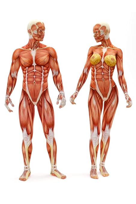 Amazon Laminated Male Female Musculoskeletal System Human
