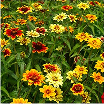 Package of 250 Seeds, Persian Carpet Zinnia (Zinnia elegans) Seeds By Seed Needs