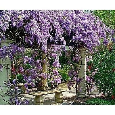 Live Plant Amethyst Falls Wisteria Vine Flowers 3 Inch Pot Garden Outdoor New : Garden & Outdoor