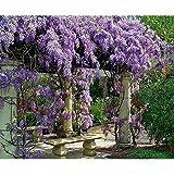 Live Plant Amethyst Falls Wisteria Vine Flowers 3 inch Pot Garden Outdoor New