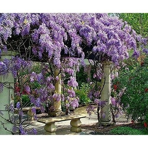 Live Plant Amethyst Falls Wisteria Vine Flowers 3 Inch Pot Garden Outdoor - Malls In Usa Georgia