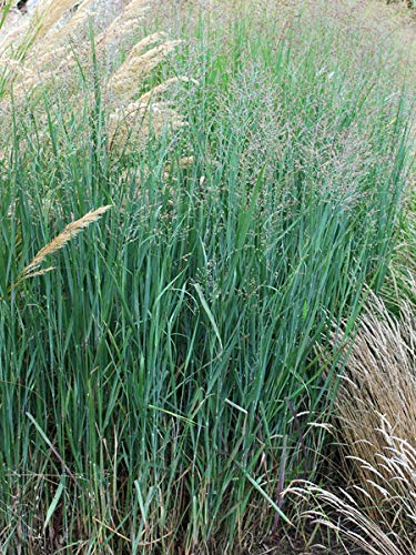 Perennial Farm Marketplace Panicum v. 'Heavy Metal' ((Blue Switchgrass) Ornamental Grass, Size-#1 Container, Bluish Foliage with Tan Colored Blooms