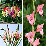 100pcs Mixed Color Gladiolus Flower Seeds Garden Perennial Herb Potted Plant