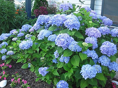 - Nikko Blue Hydrangea - Quart Pot